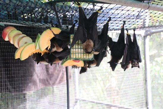 Atherton, Australia: First view of bats eating