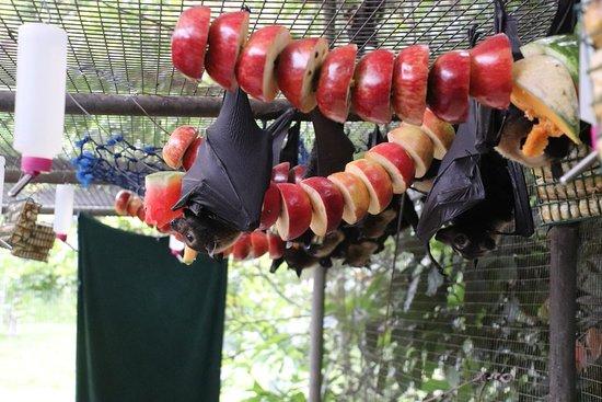 Atherton, Australia: Several bats are eating!