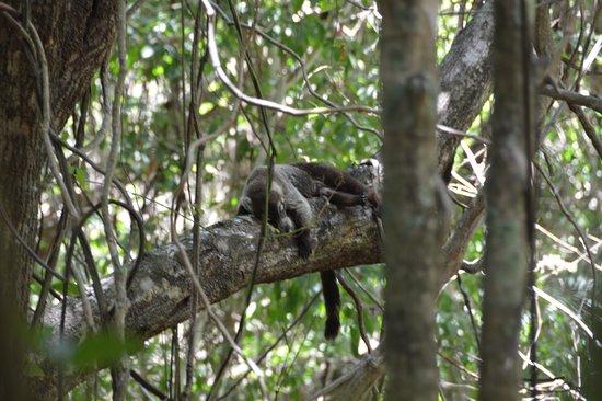 Nicoya, Costa Rica: Coati in a tree