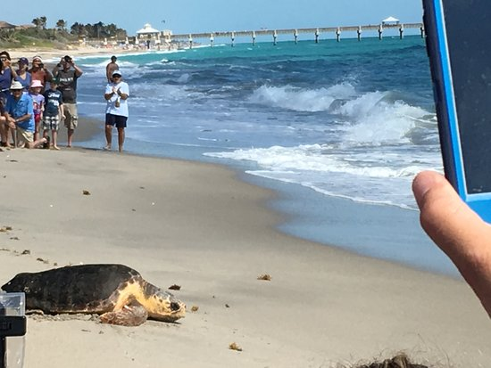 Juno Beach, FL: Turtle from the center being released to ocean