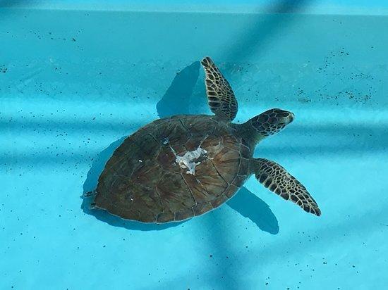 Juno Beach, FL: Turtle being nursed back to health at center