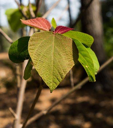 South Carolina Botanical Gardens: Japanese spurge shrub has interesting leaves