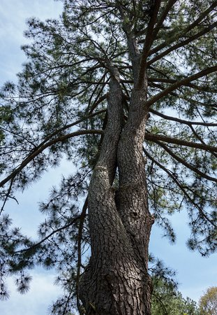 South Carolina Botanical Gardens: This fascinating pine tree has a plaque commemorating Frederick Thode but no tree ID. Frustratin