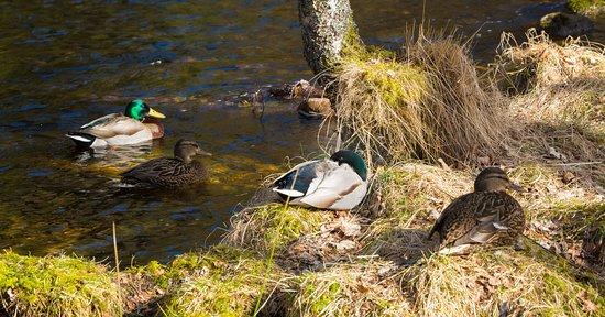 Aviemore, UK: Loch an Eilein mallards