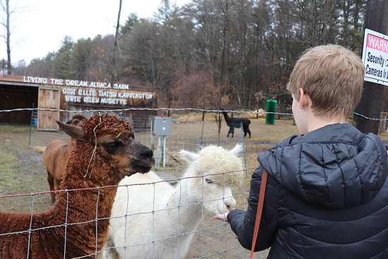 Quechee, VT: petting alpacas