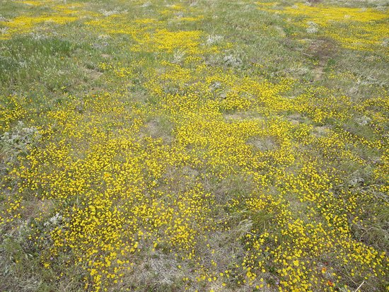 Antelope Valley California Poppy Reserve: Lots of yellow flowers