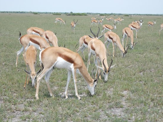 Makgadikgadi Pans National Park, Botsuana: SPRINGBOK ON DAY TRIP