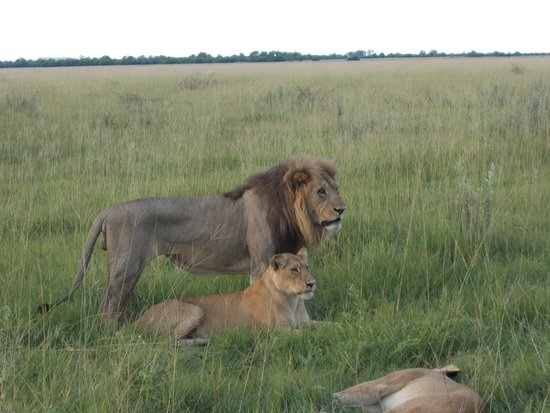 Savute Safari Lodge: Sekekama hoping to increase the Marsh Pride