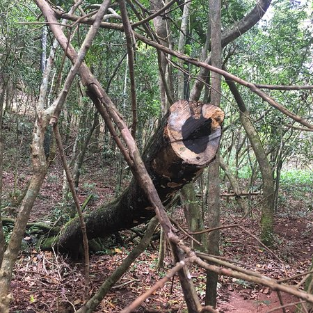 Chamarel: An ebony tree that fell during cyclone berguita in January 2018