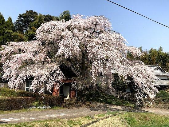 Taketa, Japan: ①県道から見た天神様の枝ぶり 見事満開