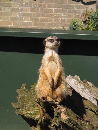 Thrigby Hall Wildlife Gardens: Meerkat keeping lookout!