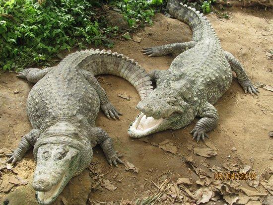 Thrigby Hall Wildlife Gardens: American Alligators! Love them!