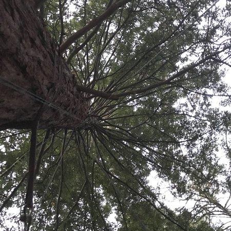 Redwoods, Whakarewarewa Forest: photo8.jpg