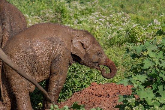 Маленькі слоненя самозаспокоюються, смокчучи хобот