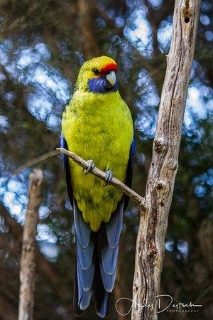 Taranna, Australia: green rosella