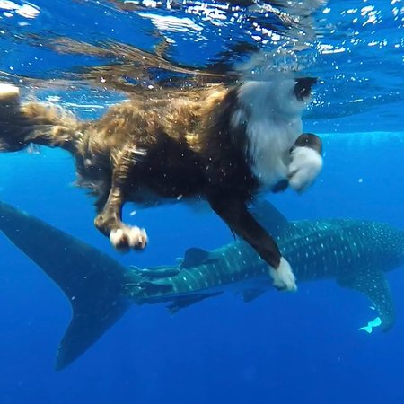Kailua-Kona, HI: Scout loves swimming with Whalesharks!