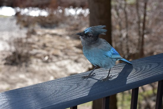 Fish Camp, CA: Stellar's Blue Jay on our deck - very friendly