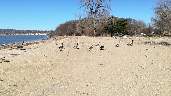 Croton on Hudson, Нью-Йорк: ビーチにはグースの群が。