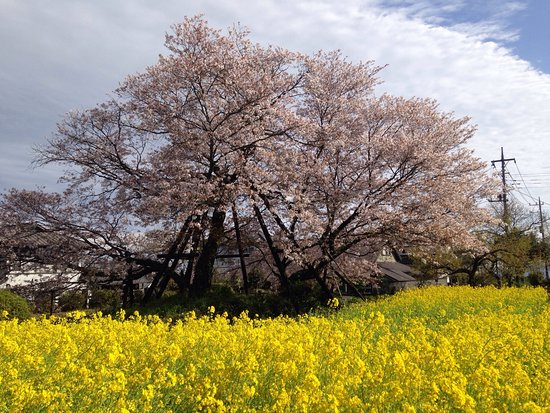 Kariyado no Geba Zakura (Sakura)