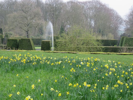 Renishaw, UK: Daffodils in the gardens