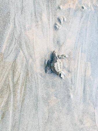 Nosara Playa Garza Hotel: Tortuguitas! En nuestra playa no se da la arriba de tortugas pero está vez tuvimos suerte y pudi