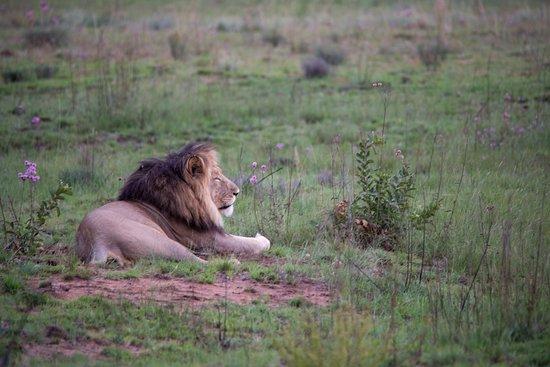 Welgevonden Game Reserve, South Africa: Lion