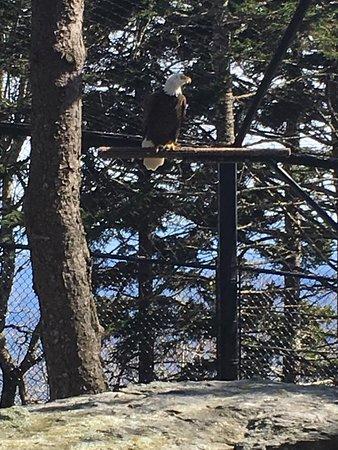 Grandfather Mountain: Injured eagle