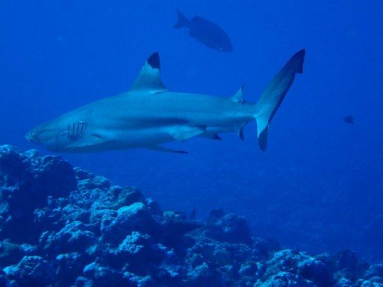 Колония, Федеративные Штаты Микронезии: I saw this large shark at the Vertigo dive site!