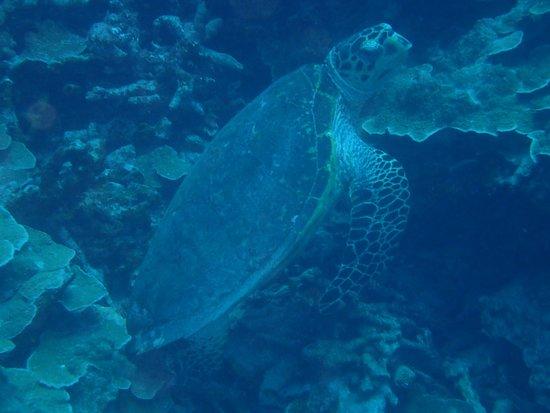 Colonia, Negara Federasi Mikronesia: A large sea turtle.