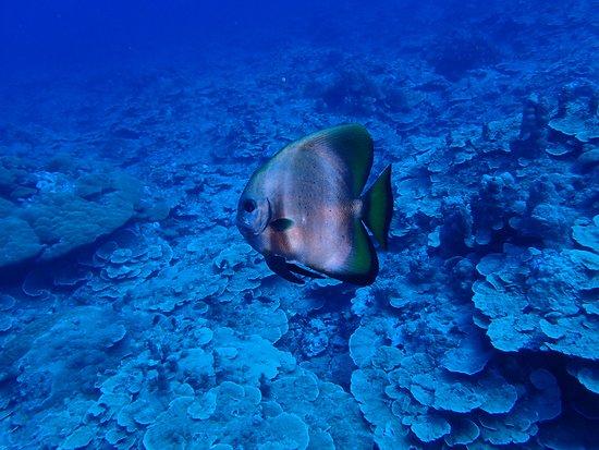 Колония, Федеративные Штаты Микронезии: A Batfish.