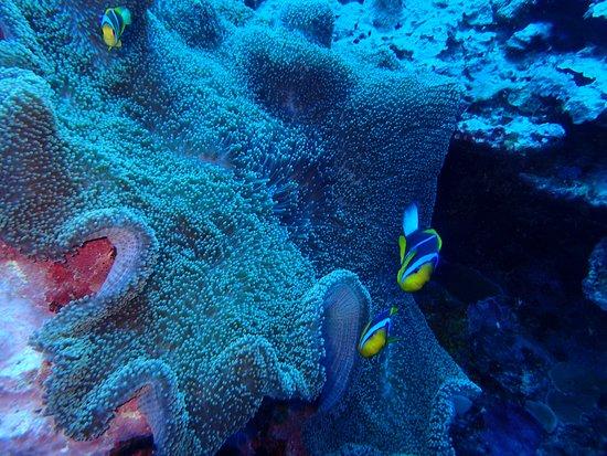 Colonia, Negara Federasi Mikronesia: Clownfish with a Carpet Anemone.