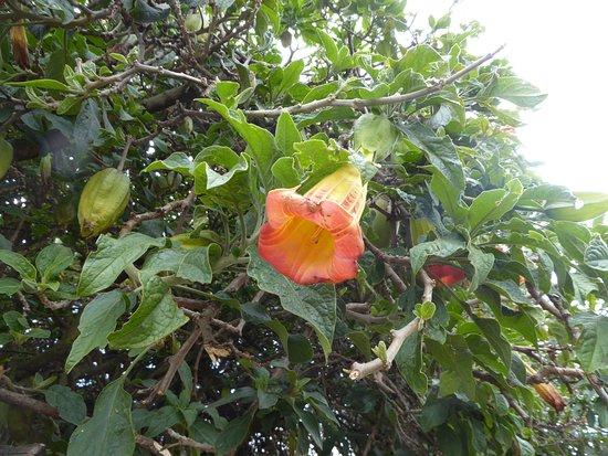 Pintag, Ecuador: brugmansia flower