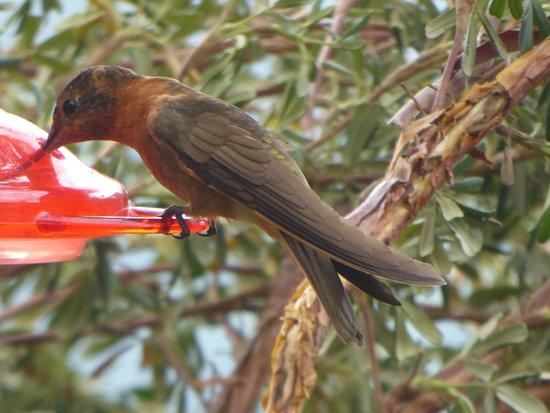 Pintag, Ecuador: hummingbird