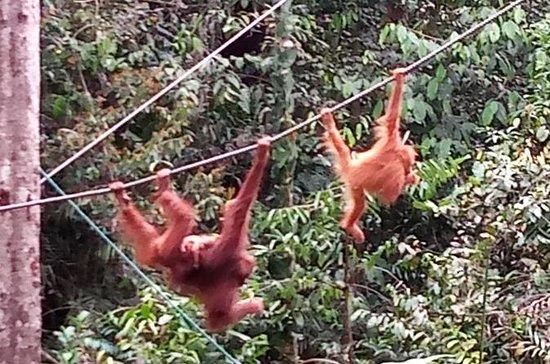 Centro del orangután de Semenggoh con...