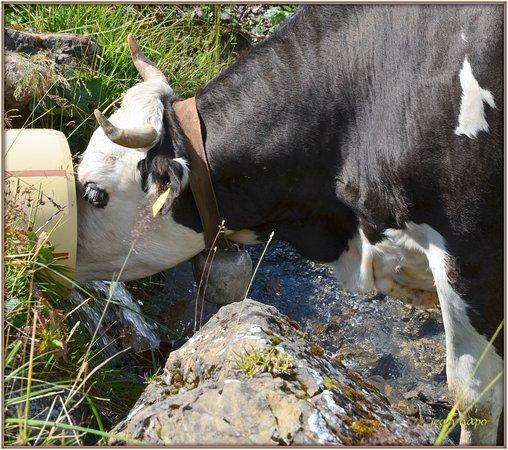 Gryon, İsviçre: l' ''EAU DE VIE'' des vaches de Taveyannaze