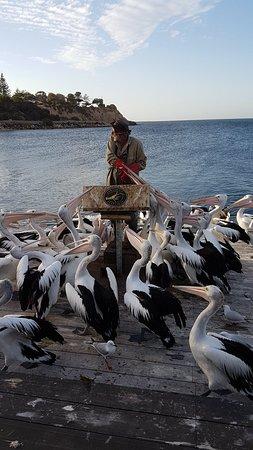 Pelican Feeding: 20180410_171133_large.jpg