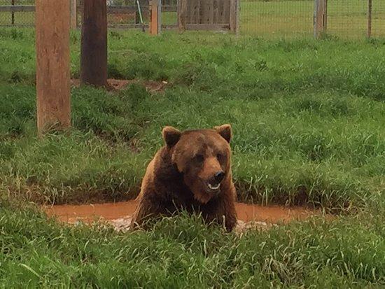 Tuttle, OK: Koda Bear