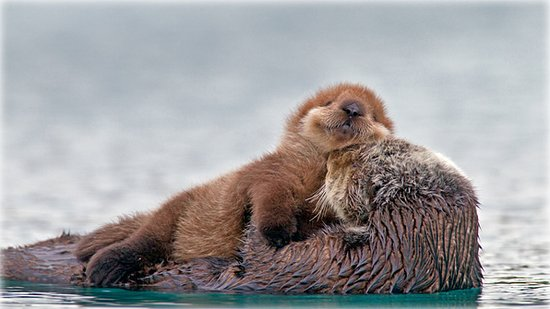 Prince of Wales Island, Αλάσκα: Sea otter with pup, Prince William Sound, Alaska
