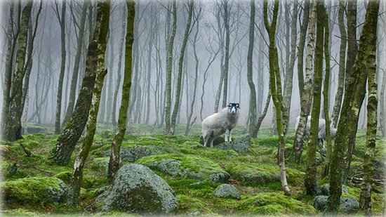 Peak Forest, UK: Sheep in the Peak District, Derbyshire