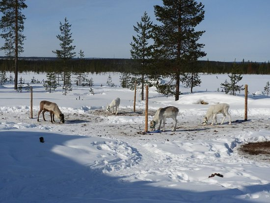 Meltaus, Suomi: Reindeer at Eero's house