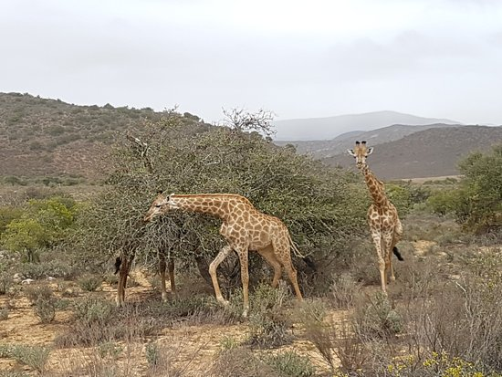 Ladismith, Sudafrica: Game drive with Ernest