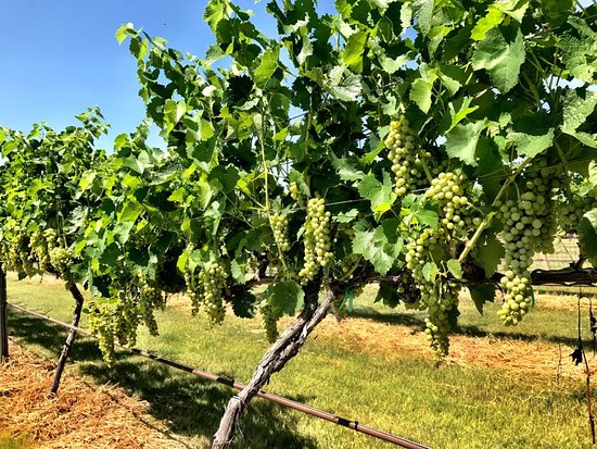 Winfield, Канзас: The best grapes make the best wine!