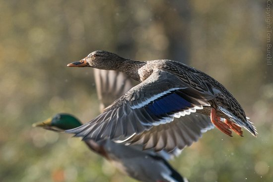Washougal, WA: Steigerwald is resting stop for migrating waterfowl.