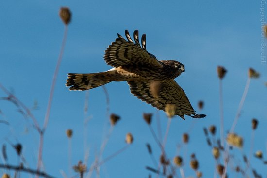 Washougal, WA: Harriers and other hawks are a common sight here.