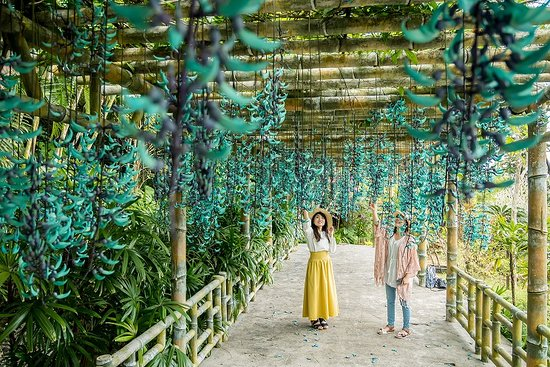 Οκινάβα, Ιαπωνία: ヒスイカズラの開花は4月上旬〜5月頃