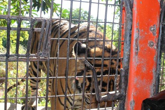 Zoobic Safari: approaching Tiger