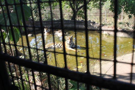 Zoobic Safari: Tigers
