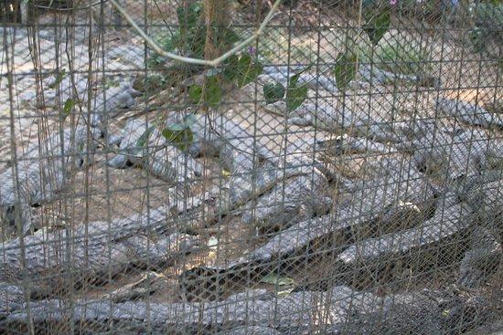 Zoobic Safari: Zoobic Crocs