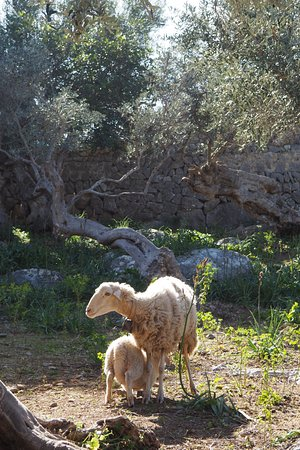 Sa Pedrissa: Our sheeps