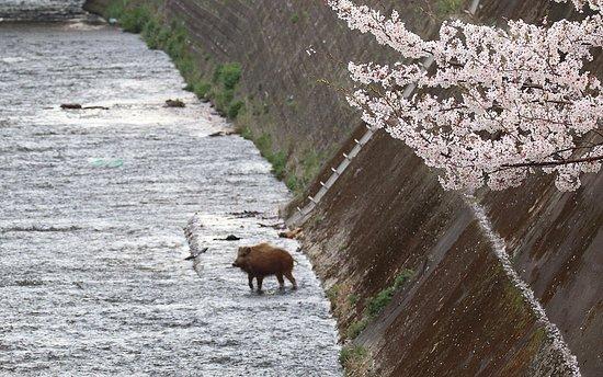 Kobe, Japan: イノシシと桜